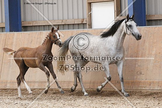 Dea Arabia (Dressage Royal x Lady Godiva - Lauries Crusador)