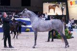 Raoud Albidayer (SMA Magic One x DL Marielle - Marwan Al Shaqab)