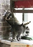 Young Raccoons exploring