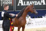 Mahil Al Marenga (Kahil Al Shaqab x Miss Marenga - Psytadel)