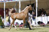 IEA Gailjiano (BS Karanji x Bess Ginger - Al Maraam)
