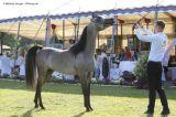 HF Santiago de Magnifique (Magic Magnifique x Gazals Serina - Gazal Al Shaqab)