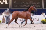 Bourhani Fadissima (Fadi Al Shaqab x AB Bellissima - Psyrasic)