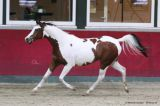 Painted Dirty Bandit (Painted Diamond x Candida - Nerath)