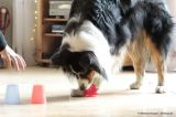 Australian Shephard with dog toy - Agility